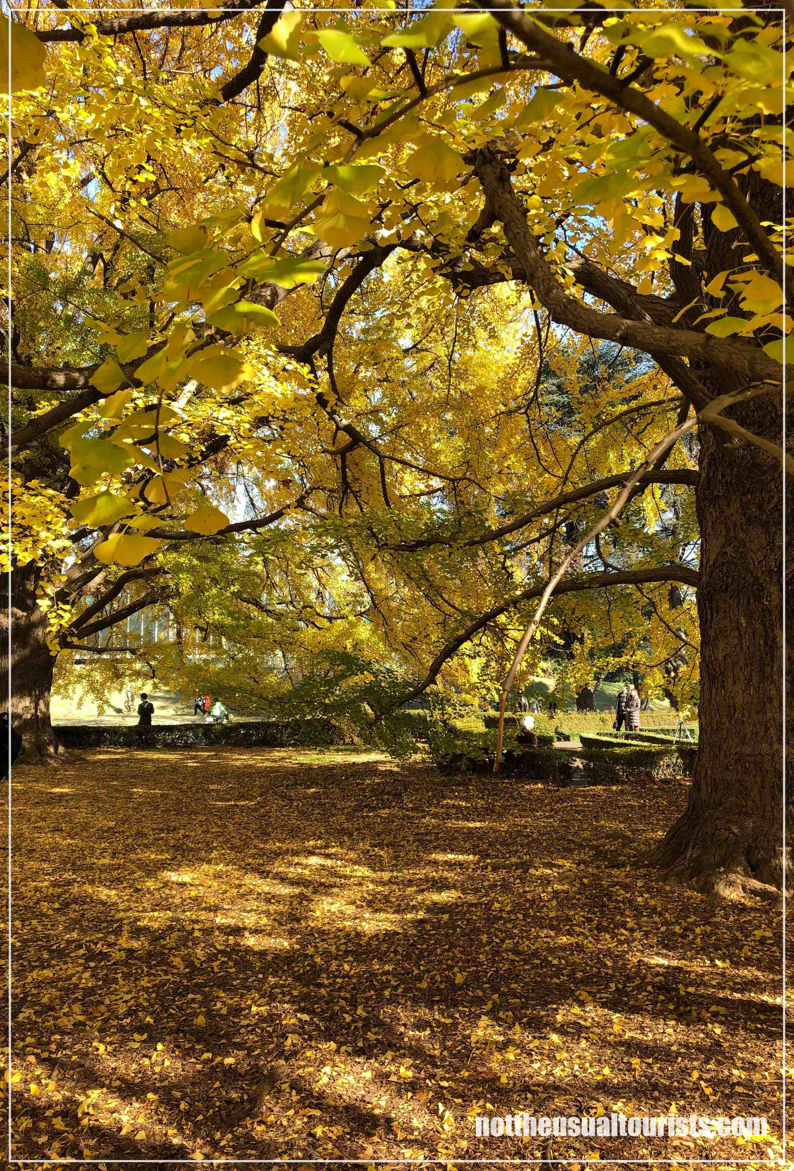 Albero di gingko / Gingko tree