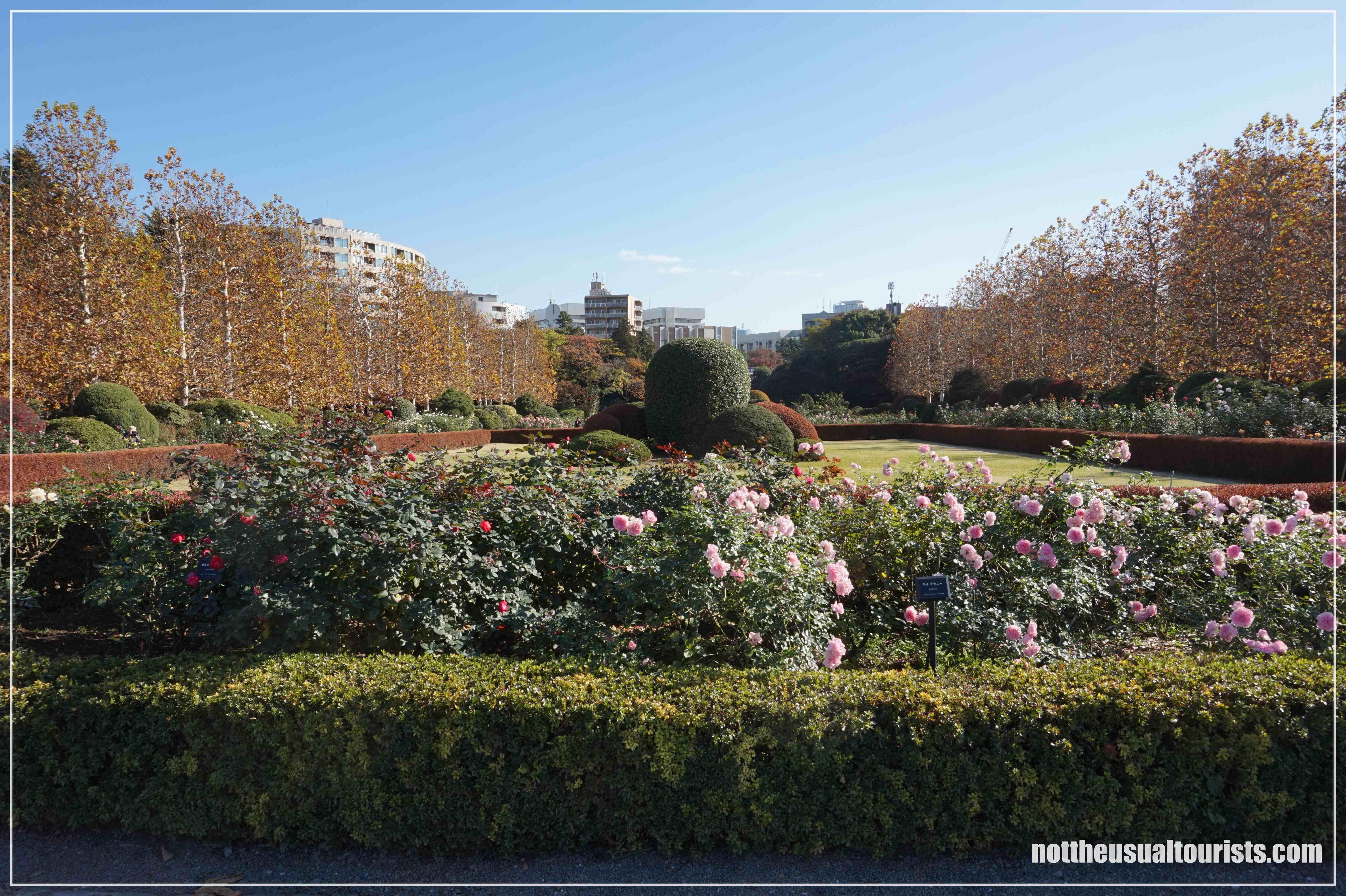Il giardino delle rose circondato dai platani / The rose garden surrounded by sycamore trees