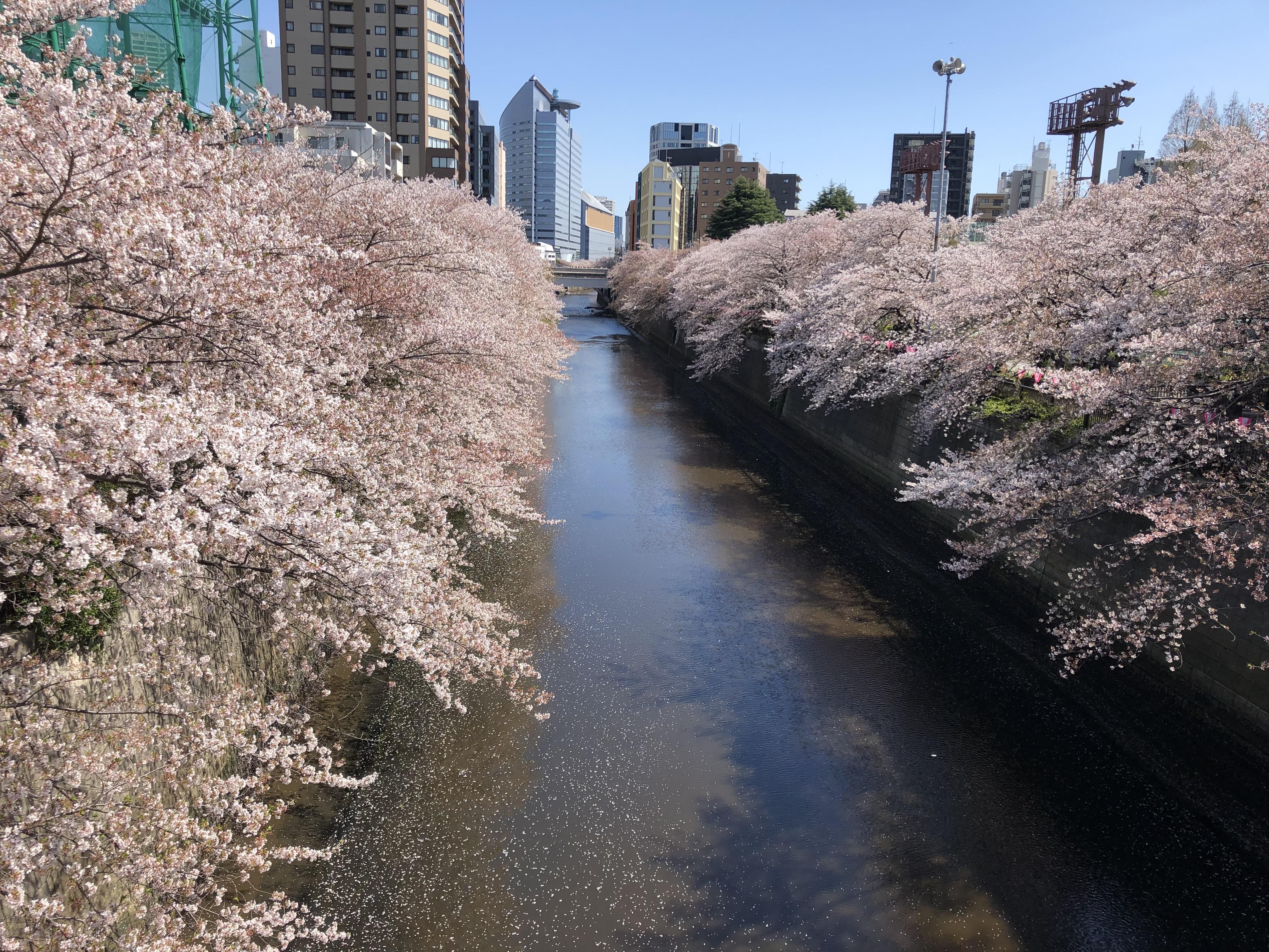 Meguro River during sakura season